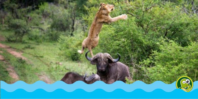 Singa Masuk Rimba yang Salah, Penonton Weka Weka Ampe ...